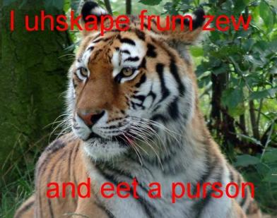 lolcat tiger